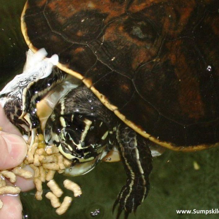 hvor lever sumpskildpadder